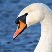 Portrait d'art d'un cygne — Photo