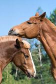 Portrait de deux chevaux — Photo