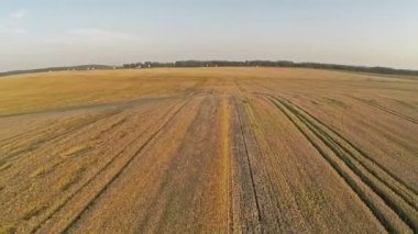 Flight and takeoff above wheat field, aerial panoramic view. — Stock Video