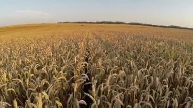 Flight above crop field at golden sunset colors, aerial panoramic view. — Stock Video
