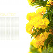 Stock Photo: Yellow hydrangeflowers