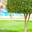Tree on lawn — Stock Photo