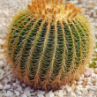 Round prickly cactus — Stock Photo