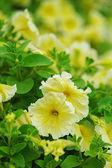 Yellow petunia — Stock Photo