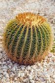Round prickly cactus — Stock Photo