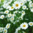 Daisies grow summer sunny day — Stock Photo #13774787