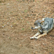 Gray wolf lying - Stock Photo
