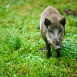 Wild boar on background of green grass — Stock Photo #13774797