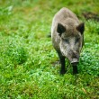 Wild boar on background of green grass - Stock Photo