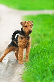 Welsh terrier — Stock Photo