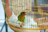 Colorful parrot in home cage — Stock Photo
