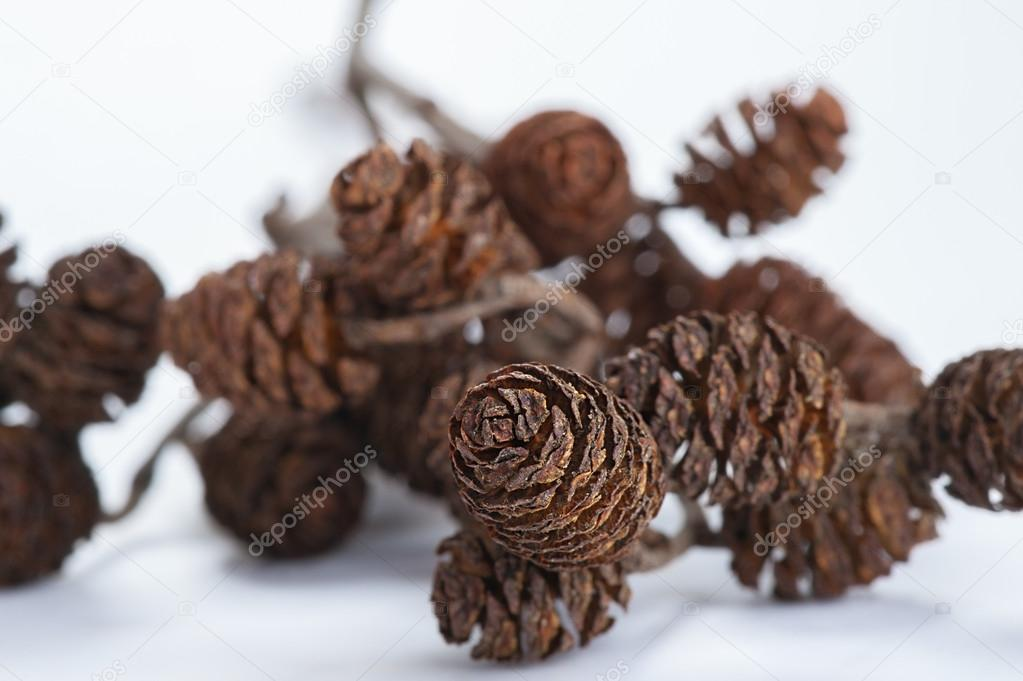 Branch with pine cones on white background.  Photo #13774781