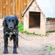 Black dog on chain - Stockfoto