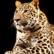 Large beautiful leopard - Stock Photo