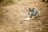 Old gray wolf — Stock Photo