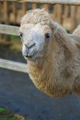 Head of camel — Stock Photo