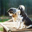 Two dogs of breed Husky - Stock Photo