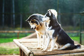 Two dogs of breed Husky — Stock Photo