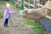 Little girl feeding two-humped camel — Stock Photo