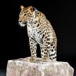 Big leopard stands on rock — Stock Photo #24840557