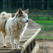 Dog of breed Husky - Stock Photo