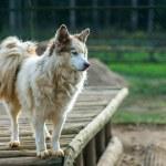 Dog of breed Husky — Stock Photo #24840601