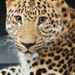 Large beautiful leopard — Stock Photo