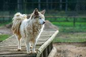 品種ハスキー犬 — ストック写真