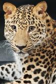 Leopardo grande hermoso — Foto de Stock