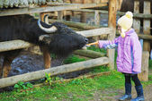 Little girl feeding buffalo — Stock Photo