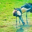 Stockfoto: Crowned Cranes