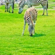 Zebras at Safari Park - Stock Photo