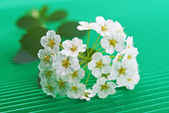 Flowering hawthorn — Stock Photo