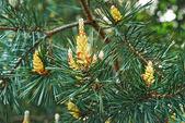 Florescimento de pinho — Foto Stock