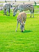Zebras at Safari Park — Stock Photo