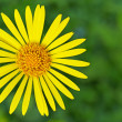 Yellow doronicum — Stock Photo