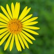 Yellow doronicum — Stock Photo #26840693