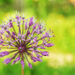 Blooming wild leek — Stock Photo