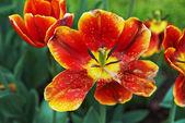 Tulipán rojo — Foto de Stock