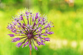 Florescendo leek selvagem — Foto Stock