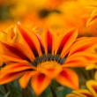 Gazania — Stock Photo