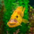 Foto de Stock  : Gold fish