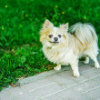 Stock Photo: Chihuahudog