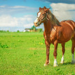 Stock Photo: Brown thoroughbred horse
