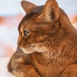 Stock Photo: Abyssinian cat