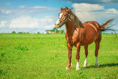 Brown thoroughbred horse — Stock Photo
