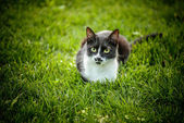 Black-and-white cat — Stock Photo
