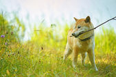 Dog brings stick — Stock Photo