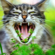 Stock Photo: Gray cat yawns