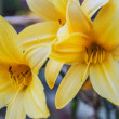 Yellow garden lilies — Stock Photo